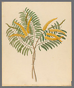 Mimosa [Acacia caffra] (1817) from a collection of ' Drawings of plants collected at Cape Town ' by Clemenz Heinrich, Wehdemann, 1762-1835 Collected and drawn in the Cape Colony, South Africa