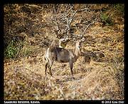 Waterbuck on mountainside<br /> Samburu National Reserve, Kenya<br /> September 2012
