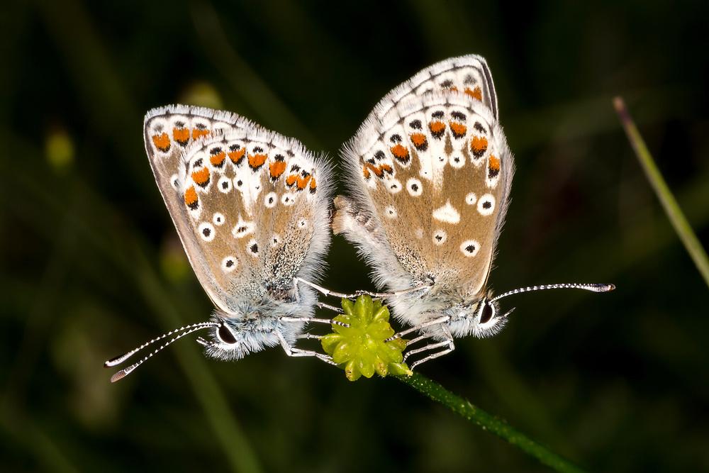 Brown Argus Butterflies Mating, Kent, UK