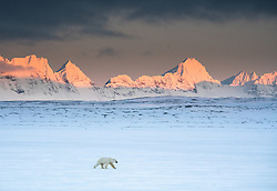 Polar bear (Ursus maritimus) in winter landscape at sunrise in Spitsbergen, Svalbard, Norway