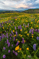 Yellow balsamroot and lupine wildflowers on Rowena Crest in the Columbia River Gorge on a cloudy Spring afternoon.
