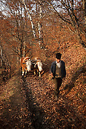 Rural Romanian man takes his bullock home after a day of logging in the forest