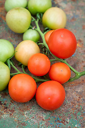 Tomato 'Cocktail Crush' - Solanum lycopersicum