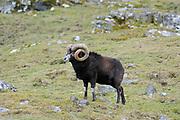 Mouflon (Ovis aries) Highland Wildlife Park, Kingussie, Scotland.