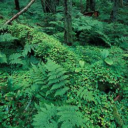 Stratton, VT. Appalachian Trail/Long Trail near Stratton Pond.  Forest floor in a spruce-fir forest.