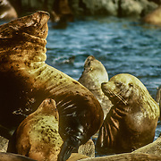 "Steller sea lions forage near shore and pelagic waters.They are also capable of traveling long distances in a season and can dive to approximately 1300 feet (400 m) in depth. They use land habitat as haul-out sites for periods of rest, molting, and as rookeries for mating and pupping during the breeding season. At sea, they are seen alone or in small groups, but may gather in large ""rafts"" at the surface near rookeries and haul outs. They are capable of powerful vocalizations that are accompanied by a vertical head bobbing motion by males.<br />