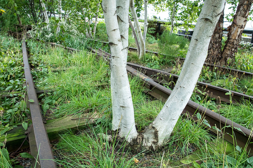 Aspen trees and disused train tracks on The High Line elevated park walkway on west side Manhattan, New York City, USA