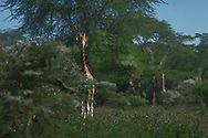 A reticulated giraffe spies on me, from behind an acacia tree at Samburu National Reserve, Kenya. Reticulated giraffes (Giraffa camelopardalis reticulata) differ genetically from all other giraffes found in Africa. Their coat features an intricate pattern of bright dividing lines (reticulations). In the past hundred years, these animals have come close to extinction. Fewer than 3000 remain. They are mostly confined to the north-eastern parts of Kenya. Ongoing efforts by the Kenya Wildlife Service and from many communities have resulted in creating swathes of land for this endangered giraffes, so much so they are larger than the combined areas of the country's National Parks and Reserves.
