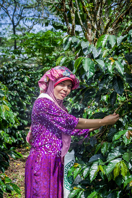 Ibu Suslaini (39) picks coffee cherries at her farm.  She has been a member of Kokowa Gayo since 2014.  The biggest challenge as a farmer are insects that attack coffee plants and cherries.  As a member of Kokowa Gayo her earnings are more stable.  She also receives support such as training, tools, and basic daily essentials.  People should buy Fair Trade because the quality of the coffee is guaranteed and tastes great.