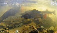 Arctic Grayling (with Northern Pike in Background)<br /> <br /> Paul Vecsei/Engbretson Underwater Photography