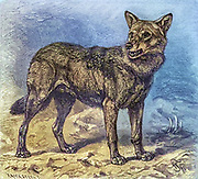 Machine colourised image of a Wolf From the book ' Royal Natural History ' Volume 1 Edited by  Richard Lydekker, Published in London by Frederick Warne & Co in 1893-1894