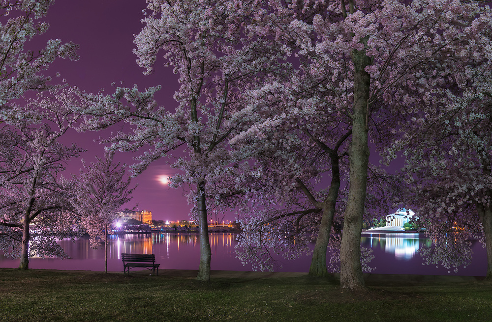 The cherry blossoms of Tidal Basin are seen in peak bloom as a crescent moon rises in the distance near the Jefferson Memorial in the early morning hours of Spring in Washington, D.C.