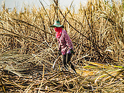 24 JANUARY 2017 - PHRA THAEN, KANCHANABURI, THAILAND: Sugarcane workers cut cane on a sugarcane plantation in Phra Thaen. Thai government  officials recently announced that they plan to float sugar prices later this year or early in 2018. Wholesale prices are currently set by the Cane and Sugar Board, a part of the Industry Ministry, while the Commerce Ministry sets the retail price. Thailand has fixed retail prices of sugar to guarantee a profit for farmers. Thailand is the world's leading exporter of sugar, after Brazil. Thai sugar production is expected to drop by more than three percent because of the lingering drought that crippled agriculture through 2015 and 2016.    PHOTO BY JACK KURTZ