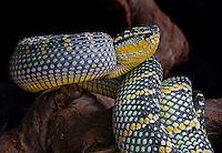 Waglers Temple Viper (Tropidolaemus wagleri)