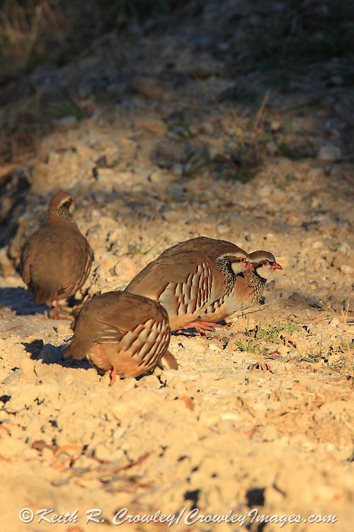 Chukar Partridge Pick Up Grit on a Rural Road