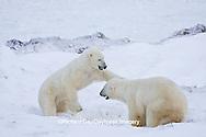 01874-11317 Polar Bears (Ursus maritimus) sparring, Churchill Wildlife Management Area MB