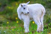 Mountain Goat Kid, Glacier National Park.