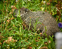 Groundhog (notice the tick in its ear). Image taken with a Nikon N1V3 camera and 70-300 mm VR lens (ISO 800, 300  mm, f/5.6, 1/50 sec).