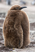 Juvenile king penguin (Aptenodytes patagonicus patagonicus) from The Neck, Saunders Island, the Falklands.