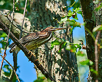 Immature Green Heron (originally thought it was an American Bittern). Image taken with a Nikon D810a camera and 300 mm f/4 lens (ISO 200, 300 mm, f/5.6, 1/400 sec).