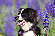 dog in a field of Blue lupin (Lupinus pilosus) flowers