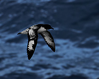 Cape Petrel in Flight from the Deck of the MS Fram. These birds flew along the ship during most of the voyage. This image was taken before the shutter on my Nikon Df died (ISO 1100, 400 mm, f/5.6, 1/1000 sec). Raw image processed with Capture One Pro, Focus Magic, and Photoshop CC.