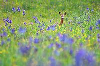 Roe Deer, male, Capreolus capreolus, Siberian Iris, Iris sibirica, Eastern Slovakia, Europe