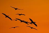 Pelicans, landing at Maagan michael fish ponds at early sunrise