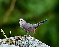 Grey Catbird Singing. Backyard Summer Nature in New Jersey. Image taken with a Nikon D4 and 80-400 mm VRII lens (ISO 1600, 400 mm, f/5.6, 1/40 sec).