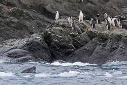 Leopard Seal & Chinstrap Penguins