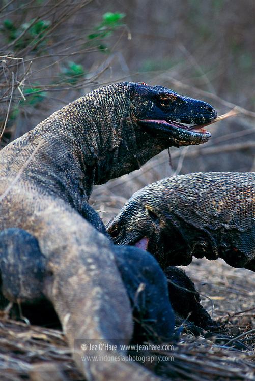 Komodo dragons eating a pig, Komodo National Park, Manggarai Barat, Flores, Nusa Tenggara Timur, Indonesia.