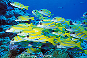 bluelined or bluestripe snapper, Lutjanus kasmira,<br /> New Drop-Off, Palau ( Belau ) Micronesia ( Western Pacific Ocean )