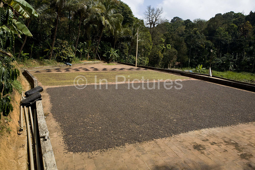 Coffee beans drying in the sun. Coorg or Kadagu is the largest coffee growing region of India, in the state of Karnataka, the inhabitants - the Kodavas have been cultivating crops such as coffee, black pepper and cardamon for many generations.