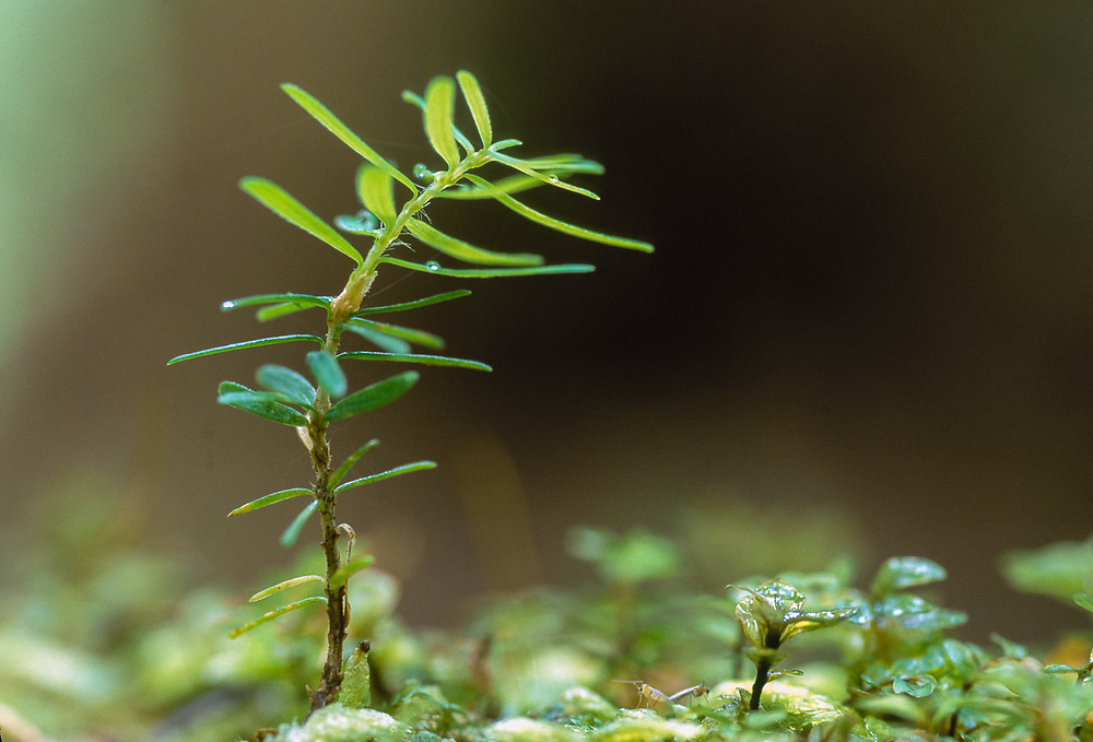 Westernn hemlock seedling on a nurse log, Olympic National Park, Washington, USA