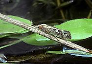Caddis fly - Limnephilus marmoratus
