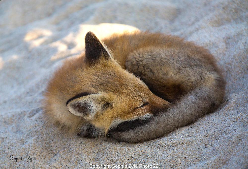 Fox Kit Sleep