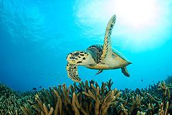 Eretmochelys imbricata, Echte Karettschildkroete,  hawksbill sea turtle, Lakkadiven See, Indischener Ozean, Maradhoo, Gan, Addu Atoll, Malediven, Asien, Laccadive Sea, Maldives, Indian Ocean, Asia