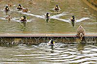 Mallard ducks in Bellevue's Downtown Park canal - crop
