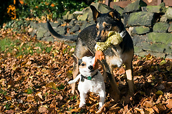 Using a soft toy a young playful Black and Tan juvenile mongrel dog plays tug of war with a small white and tan Jack Russell in the local park <br /> <br /> 1st November 2009 <br /> Copyright Paul David Drabble