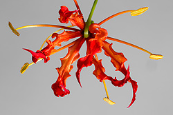 Gloriosa Lily #4
