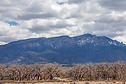 Cottonwood trees that line the Rio Grande with the Sandia Mountains in the backgound, Albuquerque, New Mexico, USA