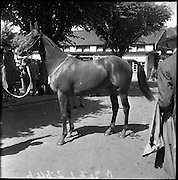 R.D.S. Horse Show, Tuesday, Northern Winner at the Dublin Horse Show. .08.08.1961