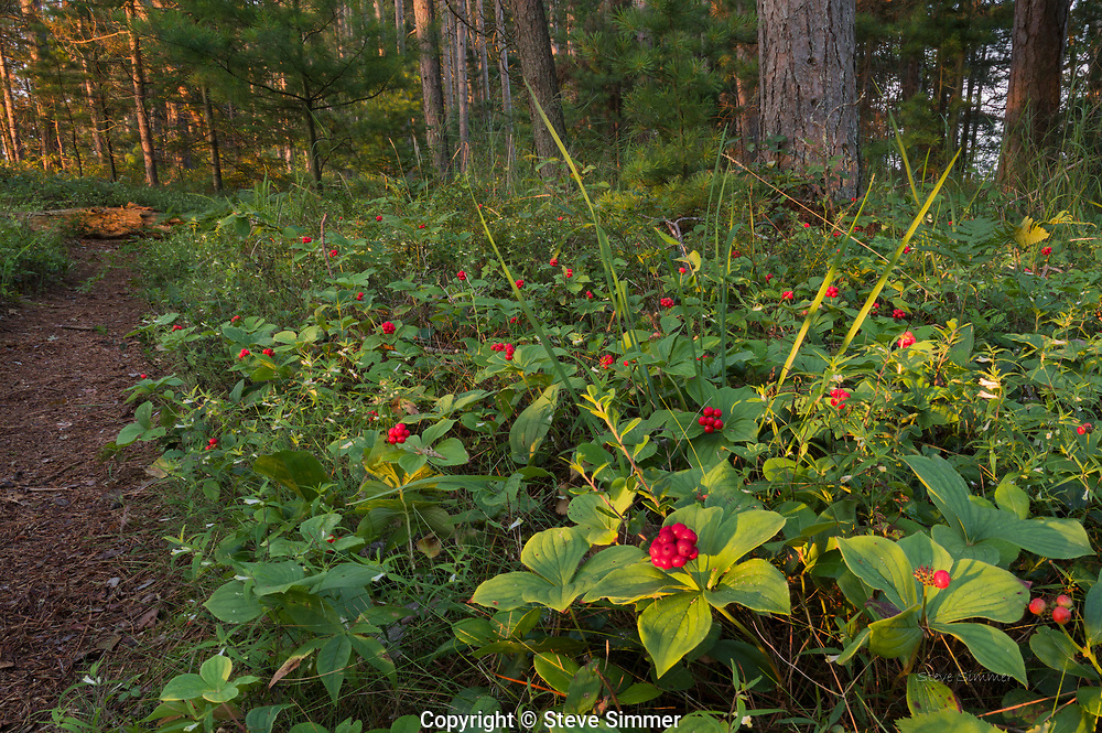 A colony of bunchberrys in the morning's first light along a beach trail at Big Bay Town Park.