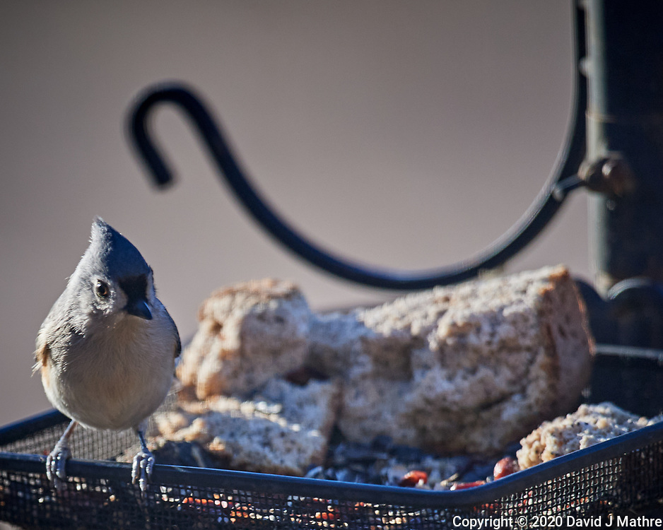 Tufted Titmouse. Image taken with a Nikon D5 camera and 600 mm f/4 VR lens (ISO 450, 600 mm, f/4, 1/1250 sec).
