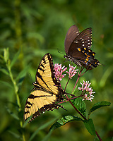 Tiger Swallowtail and Black Swallowtail Butterfly on a Joe Pye Weed. Image taken with a Fuji X-T1 camera and 100-400 mm OIS lens.