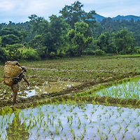 A porter hikes through rice paddies on the still-unfinished trail around Annapurna in Nepal.