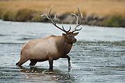 Bull elk in river during autumn rut