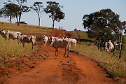 Uniao de Minas_MG, Brasil...Gado pastando em uma paisagem rural em Uniao de Minas, Minas Gerais...The cattle grazing in the rural landscape in Uniao de Minas, Minas Gerais...Foto: LEO DRUMOND / NITRO