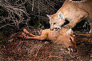 A wild cougar (Puma concolor) eats an elk calf (Cervus elephus nelsoni) calf that it killed and covered with debris earlier. Biologists from The Oregon Division Of Fish and Wildlife placed a radio collar and ear tags on this mountain lion to track its movements. Wallowa County, Oregon.<br /> <br /> This image was taken during the Oregon Division Of Fish And Wildlife's controversial Cougar Management Plan.<br /> <br /> Cougars will often cache prey after the kill, and then return to feed later. A motion-sensing camera photographed this cat returning for a meal.