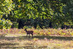 © Licensed to London News Pictures. 05/10/2020. London, UK. A young deer walkers through a sunlit wood as visitors enjoy the mild temperatures and autumnal colours in Richmond Park today after Storm Alex lashed the UK with 3 days of rain. Weather forecasters predict sunshine and showers with a high of 16c for the rest of the week. Photo credit: Alex Lentati/LNP
